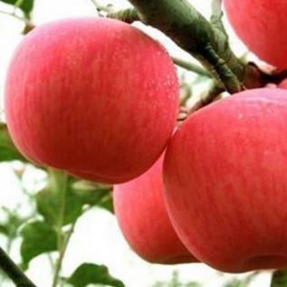 2015山东特产烟台栖霞红富士苹果五斤装